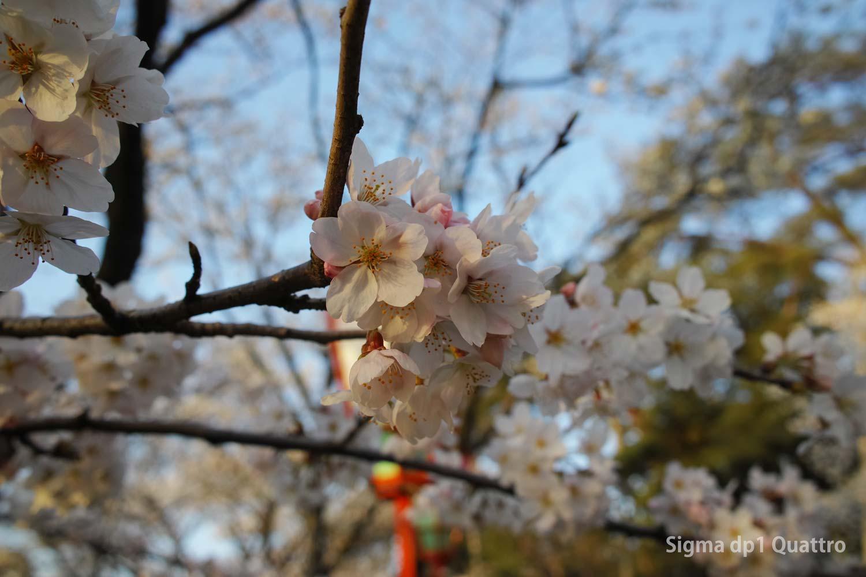 SIGMA dp1 Quattoro 桜