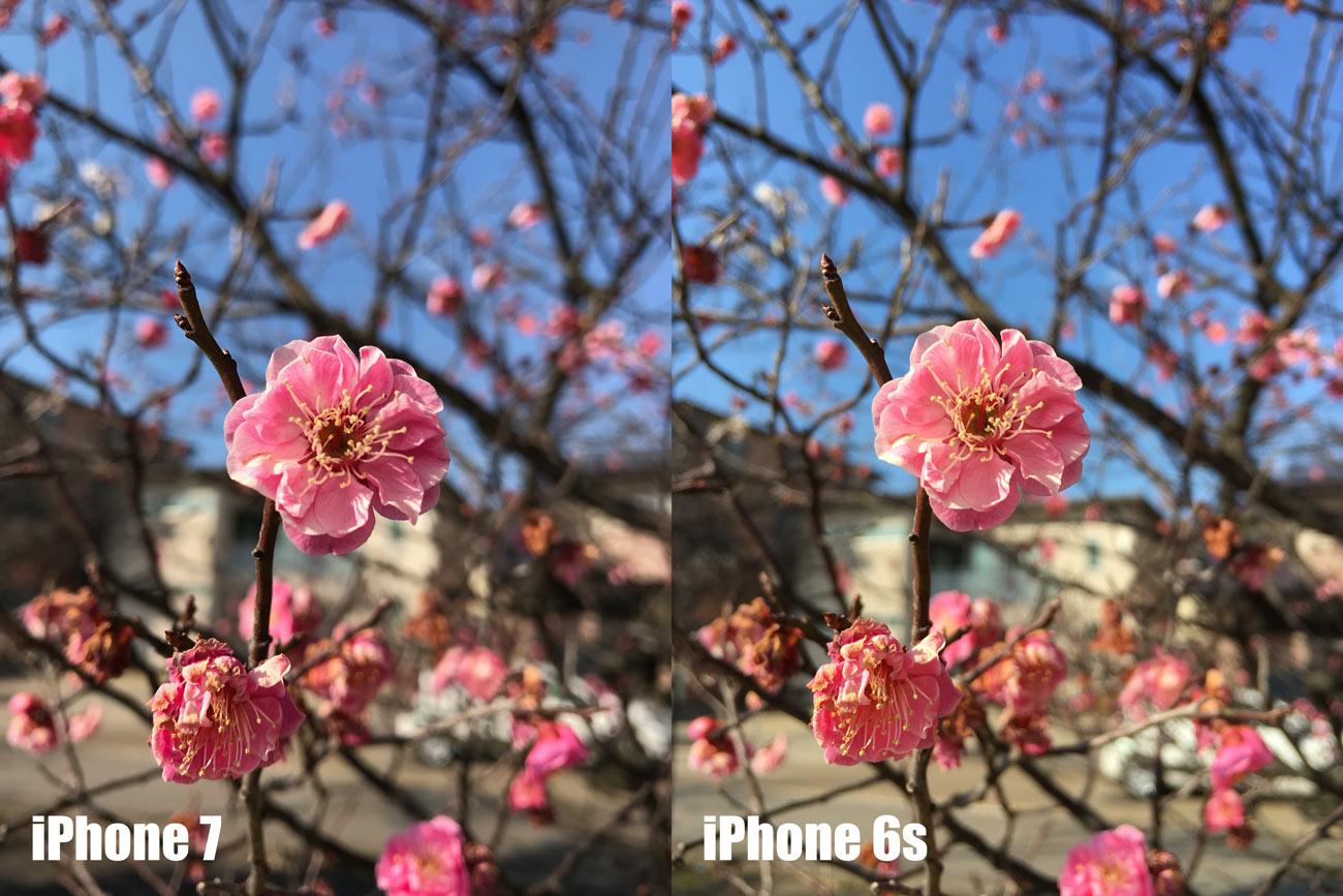 iPhone 7とiPhone 6s カメラの画質を比較(ピンクの花)