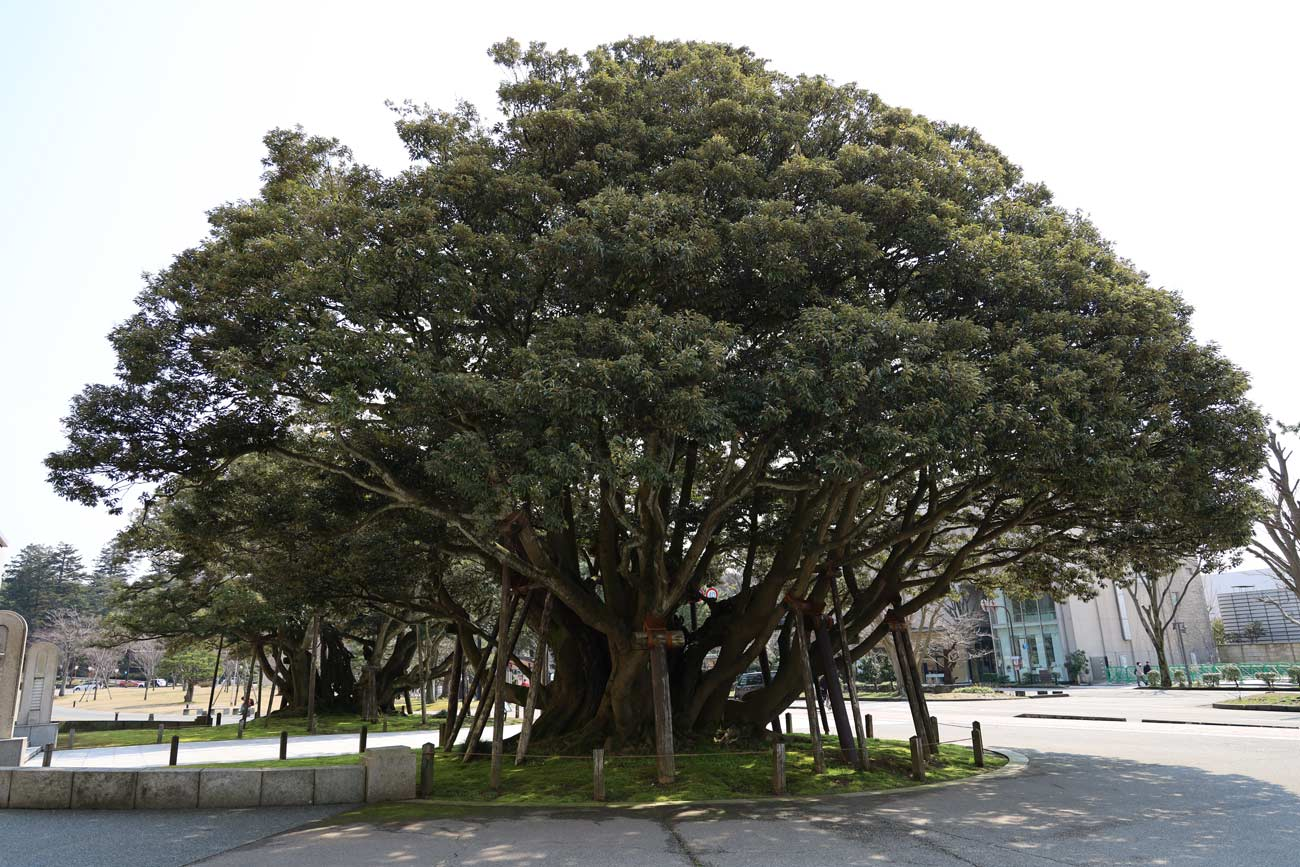 EOS RP + RF24-05mmF4で大きな木を撮影