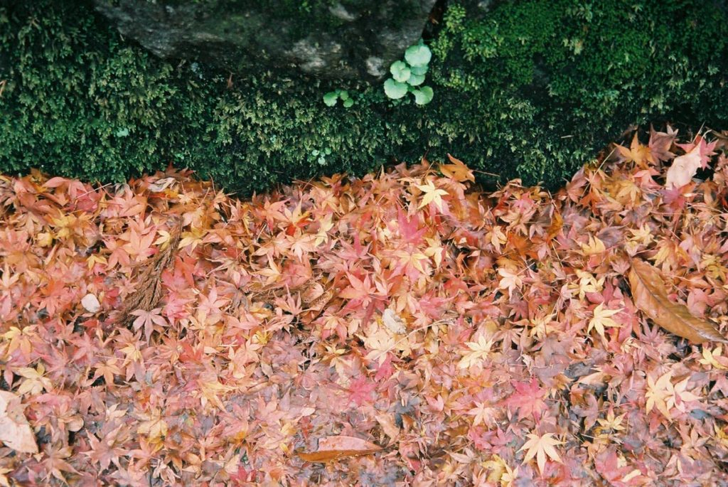 大量の紅葉
