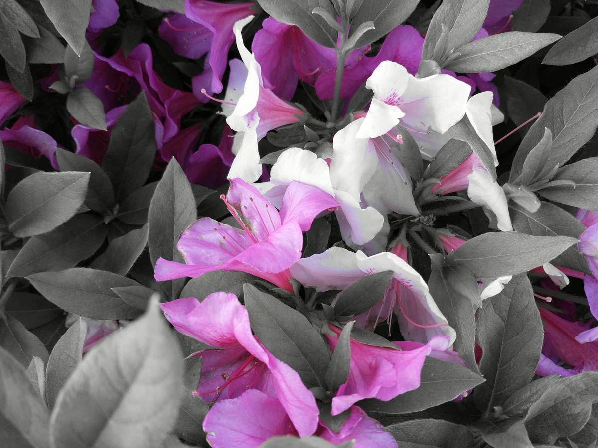スポットカラーで花の色だけ残す