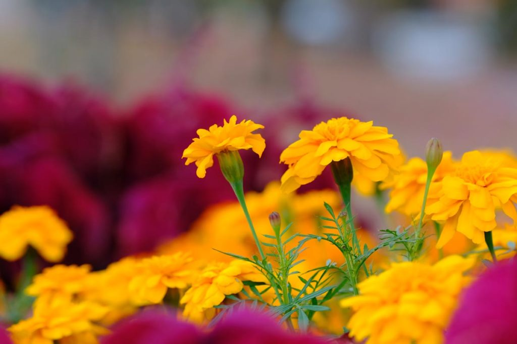 XF90mmF2で黄色い花を撮影