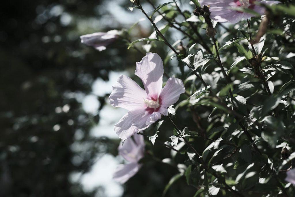 X-T4のETERNAブリーチバイパスで花を撮影