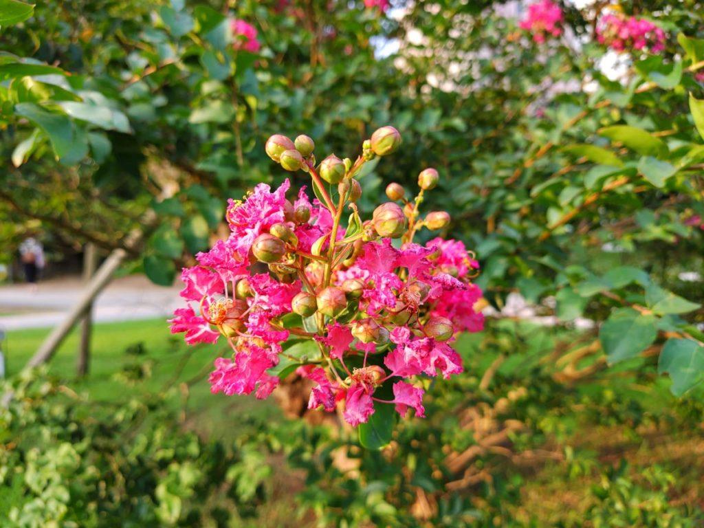 arrows 5G 標準カメラで撮影したピンクの花
