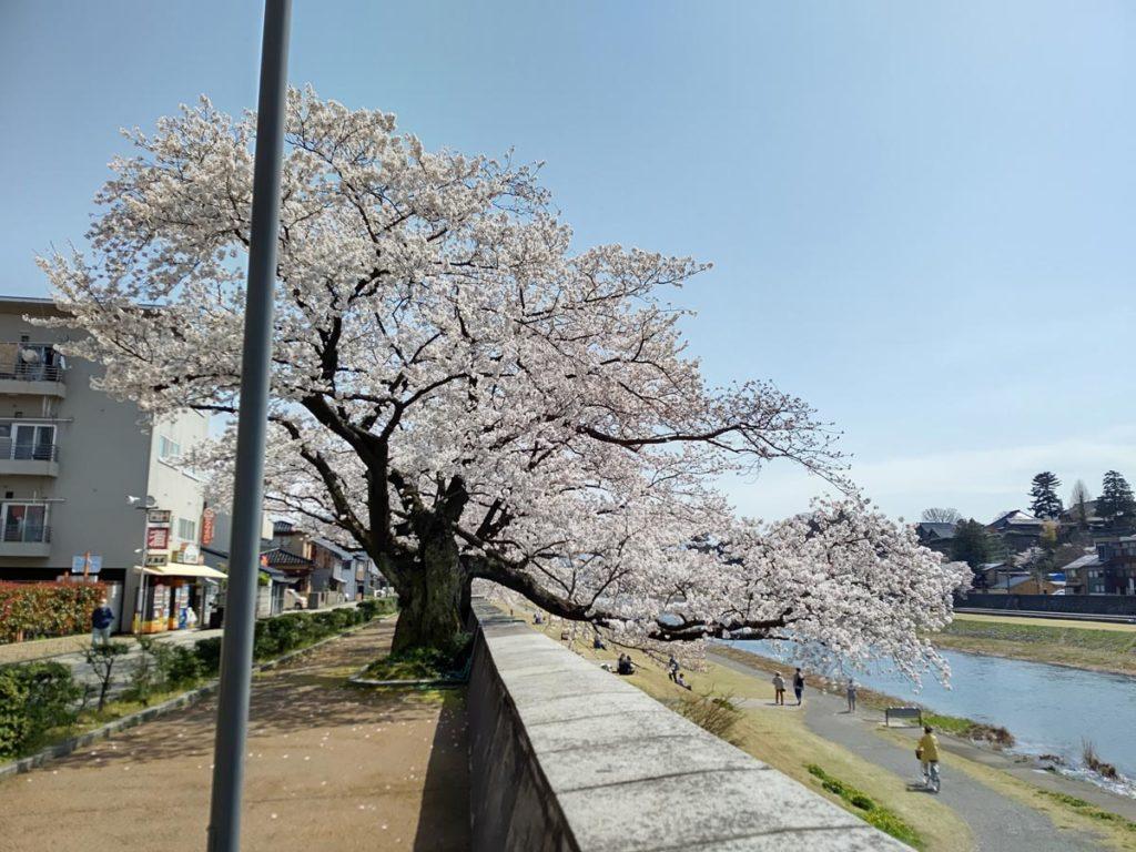AQUOS R5Gの広角カメラで桜を撮影