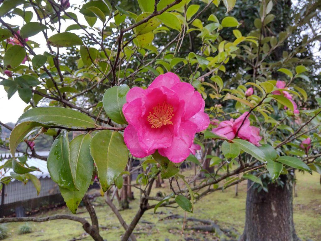 AQUOS sense4 広角カメラでピンクの花を撮影