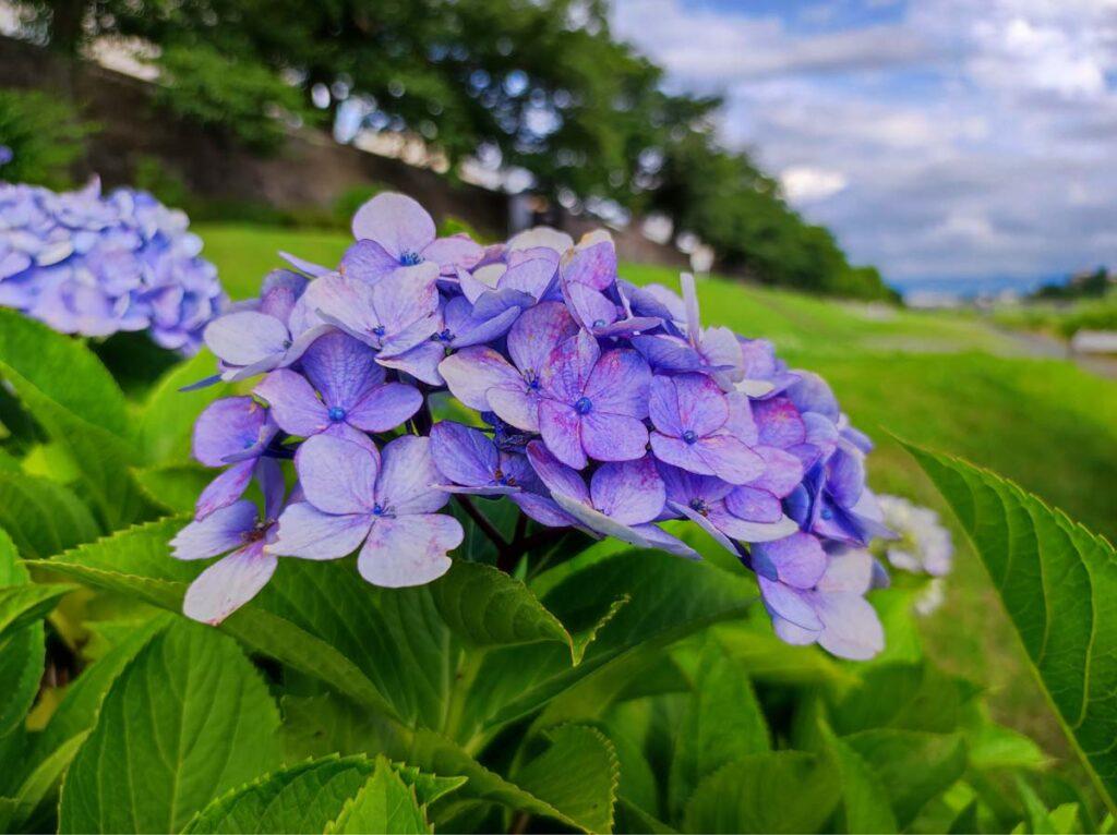 Mi 11 Lite 5G 紫陽花を撮影